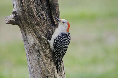 Sapsucker Wall Art - Photograph - Red Bellied Woodpecker On A Tree by Heather Applegate