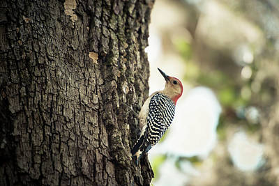 Red Bellied Woodpecker On Tree (large Art Print by Sheila Haddad