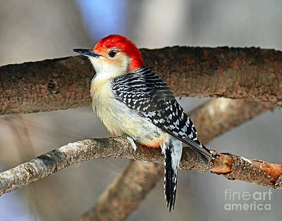 Photograph - Red-bellied Woodpecker by Rodney Campbell