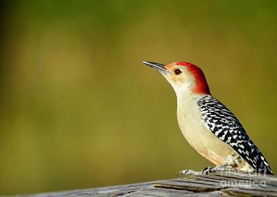 Photograph - Red Bellied Woodpecker by Sabrina L Ryan