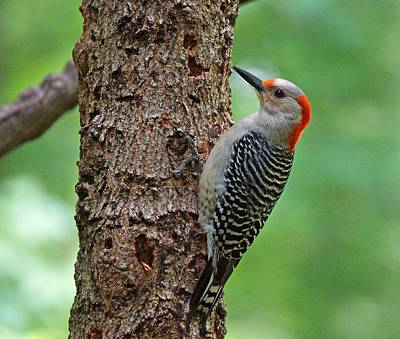Photograph - Red Bellied Woodpecker by Sandy Keeton