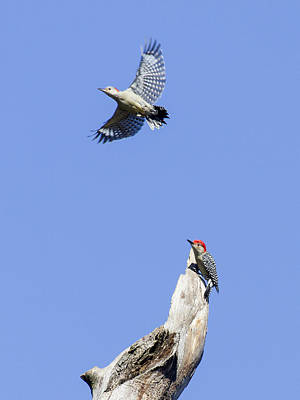 Photograph - Red-bellied Woodpeckers by David Lester