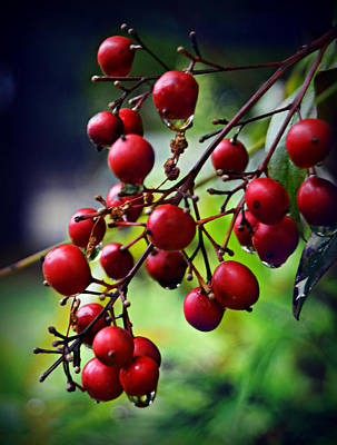 Photograph - Red Berries by Amber Summerow