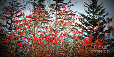Photograph - Red Berries by Cynthia Mask