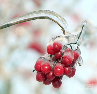 Photograph - Red Berries by France Laliberte