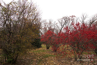 Photograph - Red Berries In Autumn by John Rizzuto