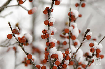 Photograph - Red Berries In Winter by Mary Carol Story