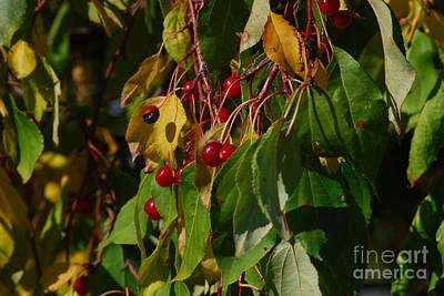 Photograph - Red Berries by Mark McReynolds