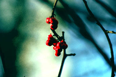 Red Berries On Canvas Art Print by Cara Moulds