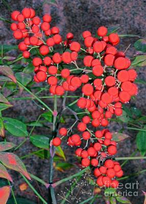 Photograph - Red Berries On Granite Background by Barbie Corbett-Newmin