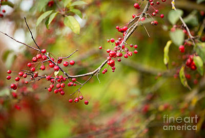 Red Berries Photograph - Red Berries by Rebecca Cozart