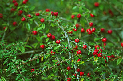 Photograph - Red Berries by Tikvah's Hope
