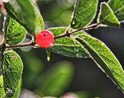 Photograph - Red Berry by Daniel Sheldon