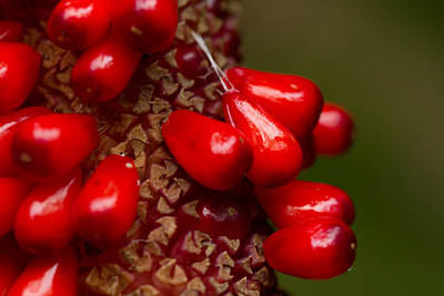 Macro Photograph - Red Berry Pop by Jared Shomo
