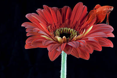 Photograph - Red Beta Daisy by John Crothers