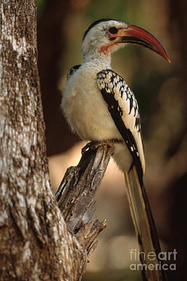 Hornbill Photograph - Red-billed Hornbill by Art Wolfe