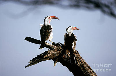 Hornbill Photograph - Red-billed Hornbills by Art Wolfe
