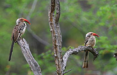 Red-billed Hornbills Print by Bruce J Robinson