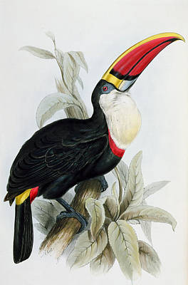 Toucan Painting - Red-billed Toucan by Edward Lear