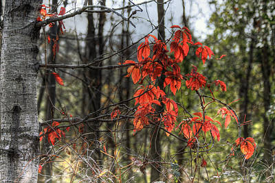 Photograph - Red Birch Leaves by Richard Gregurich