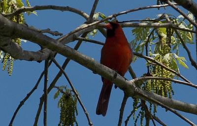 Photograph - Red Bird 3 by Aaron El-Amin