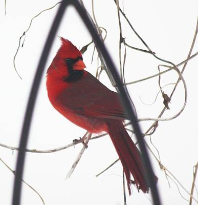 Photograph - Red Bird On A Vine Original by Diane Merkle
