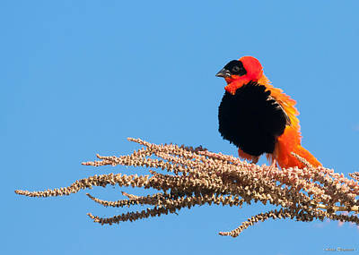 Photograph - Red Bishop Weaver by Avian Resources