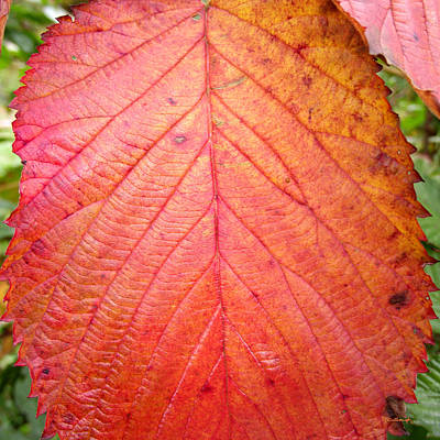 Photograph - Red Blackberry Leaf by Duane McCullough