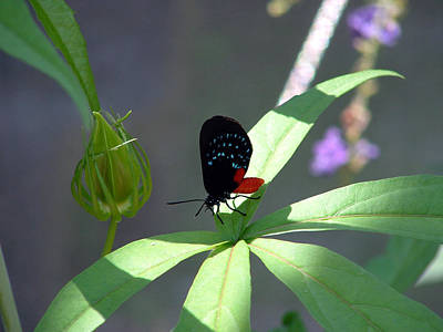 Target Threshold Watercolor - Red Bodied Butterfly by David Weeks