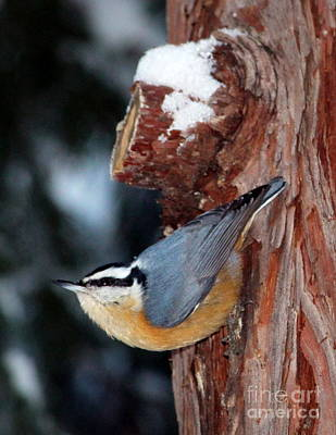 Red Breast Nuthatch  Art Print