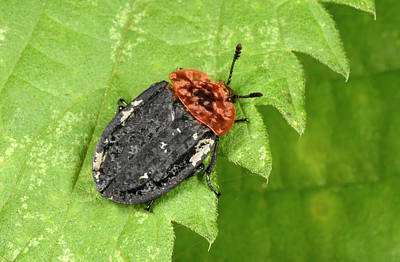 Beetle Photograph - Red-breasted Carrion Beetle by Nigel Downer