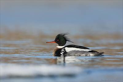 Photograph - Red Breasted Merganser  by Daniel Behm