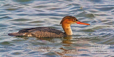 Serration Photograph - Red-breasted Merganser by Gary Holmes