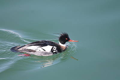 Photograph - Red-breasted Merganser Swims by Matt Keough