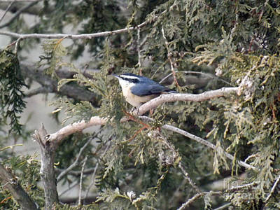 Photograph - Red Breasted Nuthatch by Brenda Brown