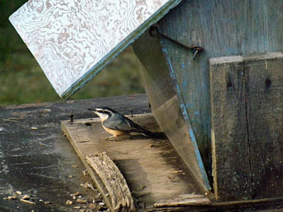 Photograph - Red Breasted Nuthatch In Feeder by Brenda Brown