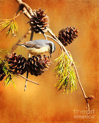 Photograph - Red-breasted Nuthatch by Olivia Hardwicke