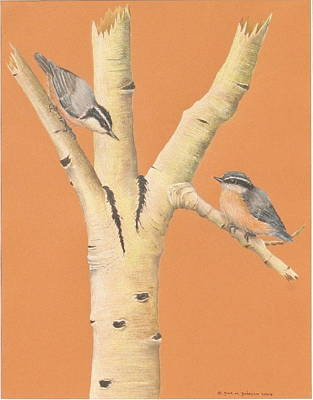 Red-breasted Nuthatches On Aspen Art Print