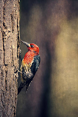 Sapsucker Wall Art - Photograph - Red-breasted Sapsucker Drilling Holes  by Maria Angelica Maira