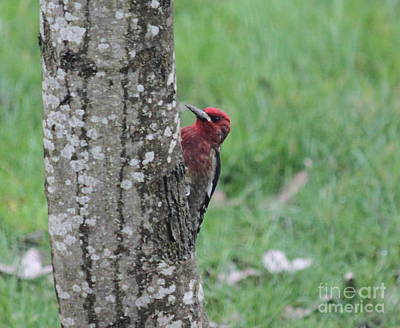 Photograph - Red Breasted Sapsucker by Erica Hanel