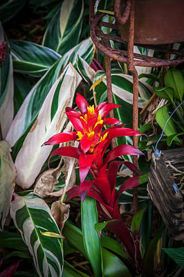Neoregelia Photograph - Red Bromeliad And Tricolor Gingers by Rich Franco