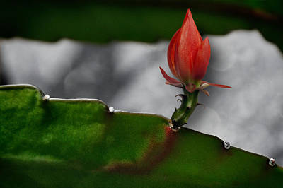 Photograph - Red Bud by Zoran Buletic