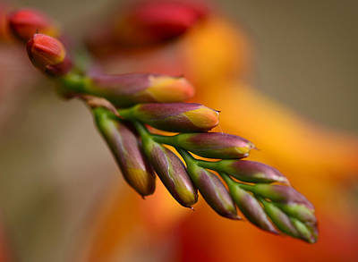 Red Buds Macro Art Print