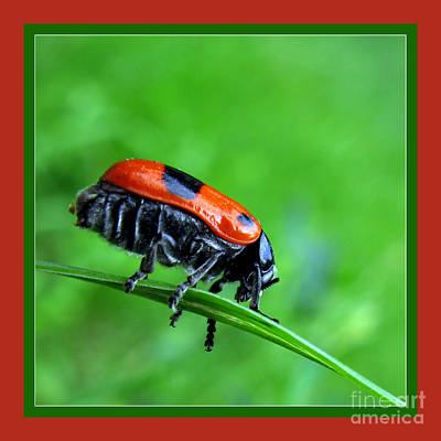 Photograph - Red Bug by Daliana Pacuraru