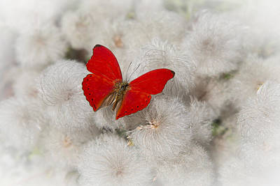 Puff Photograph - Red Butterfly On Flower Fluff by Garry Gay