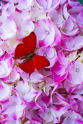 Butterfly Photograph - Red Butterfly On Hydrangea by Garry Gay