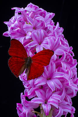 Butterfly Photograph - Red Butterfly On Pink Hyacinth by Garry Gay