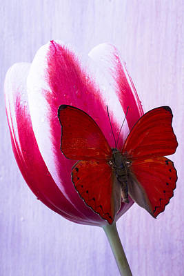 Red Butterfly On Red And White Tulip Art Print by Garry Gay