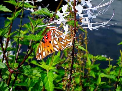 Photograph - Red Butterfly by Ron Kandt
