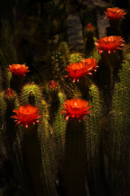 Red Cactus Flowers II  Art Print by Saija  Lehtonen